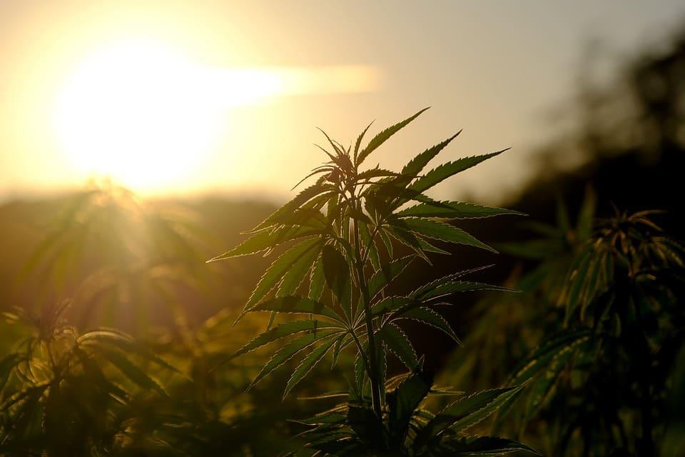 Un plant de cannabis faisant face au  coucher du soleil